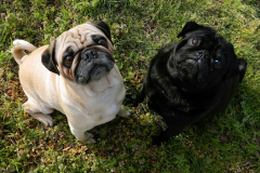 dogs-82799_1920