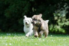 two-race-dogs-750570_1920